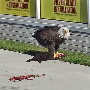 Bald eagle eats black cat in middle of town (photo)