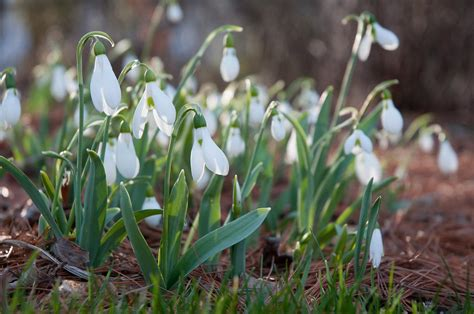 specialty bulbs snowdrops for sale