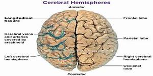 Introduction of Cerebral Hemispheres - Assignment Point