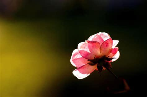Rose Flower Wallpaper Hd Free Download Roses Flowers Hd Wallpapers Free Download