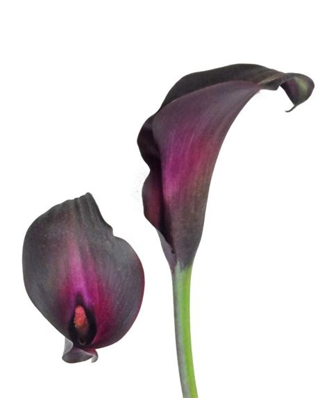 calla colors 13 best black calla weddings images on