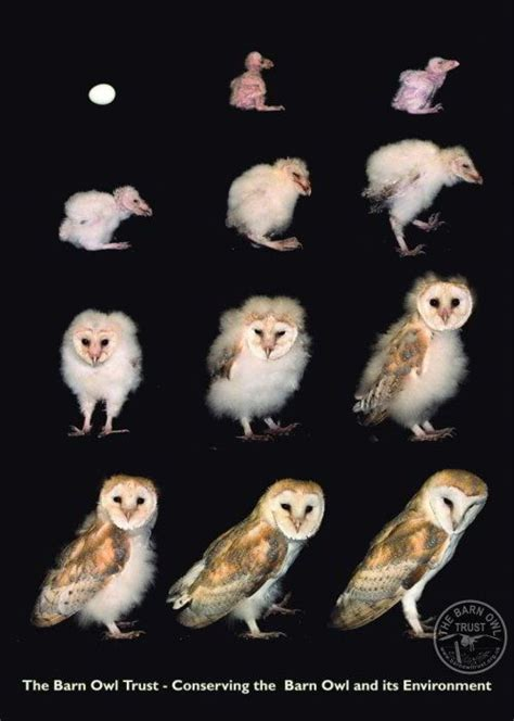 barn owl lifespan a barn owl grows from egg to in 63 days and other