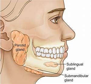 Salivary Glands  Location  Function And Types