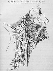 Anatomical Illustration  Art Informing Science  1543