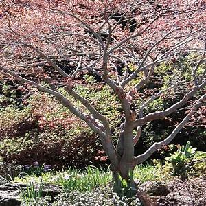 Roter Ahorn Baum : baum ahorn ausgewhlte topprodukte und bewertungen acer ~ Michelbontemps.com Haus und Dekorationen