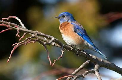Bluebird Eastern Wallpapers Flying Eagle Related