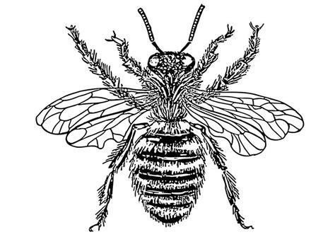 Disegno da colorare ape regina - Cat. 12902