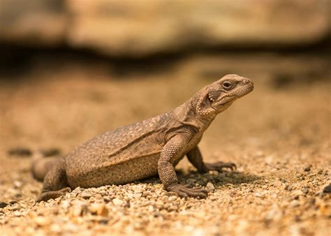 common chuckwalla a mojave desert animal