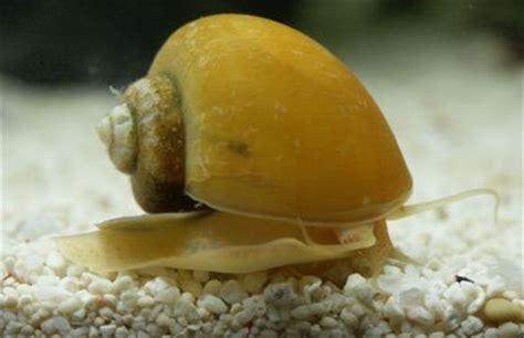 escargot d eau douce aquarium les diff 233 rents escargots d aquarium d eau douce les plus connus