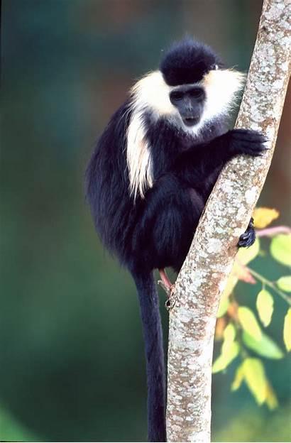 Monkey Colobus Tracking