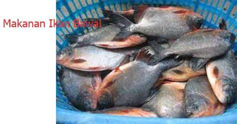 Benih Ikan Bawal Blitar makanan ikan bawal bisa buat bisa beli ini infonya ayo