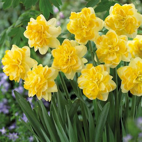 zyverden daffodils bulbs sweet pomponette set of 12