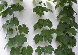 Winterharte Kübelpflanzen Als Sichtschutz : zierhopfen f r garten balkon a sichtschutz k belpflanzen ~ Michelbontemps.com Haus und Dekorationen