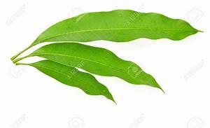 mango-leaf