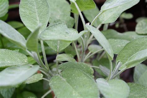 la sauge en cuisine cultiver les herbes aromatiques en pots