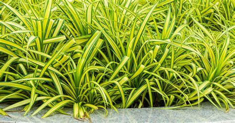 Garden Spider Toxicity by Spider Plant Aspca