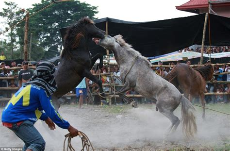 stallions fight   death  illegal horse fighting