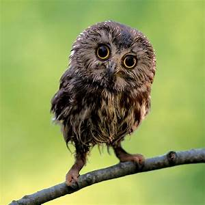Ranking The 8 Most Adorable Species Of Owl   TheSlicedPan.com