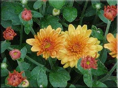yanx berwarna ketahui  pelangi bunga krisan