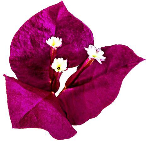 bougainvillea flowers clipart   cliparts