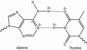 Why are there two hydrogen bonds between adenine and ...