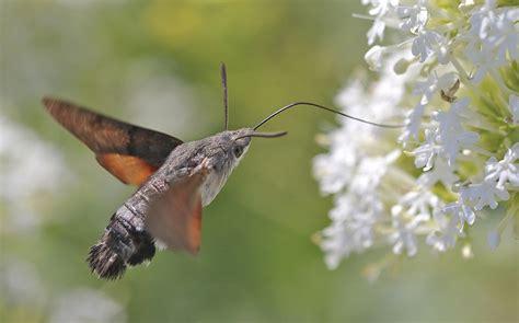 hummingbird hawk moth facts range habitat behavior