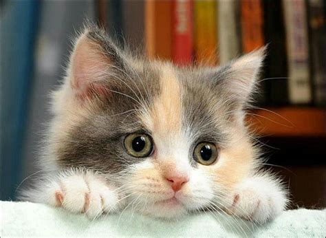 Cute Dilute Calico Kitten Kitty Pinterest Doll Face