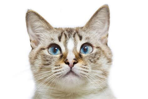 Blue Eyed Cat Head Stock Image Image Of Cute, Head, Part