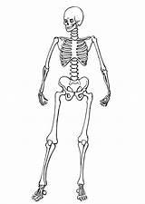 Coloring Pages Skeleton Skeletons Printable sketch template