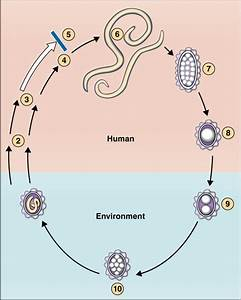 Ascaris Lumbricoides (Ascariasis), Pediatric | Diseases ...