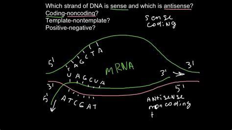 coding strand vs template strand sense and antisense strands of dna