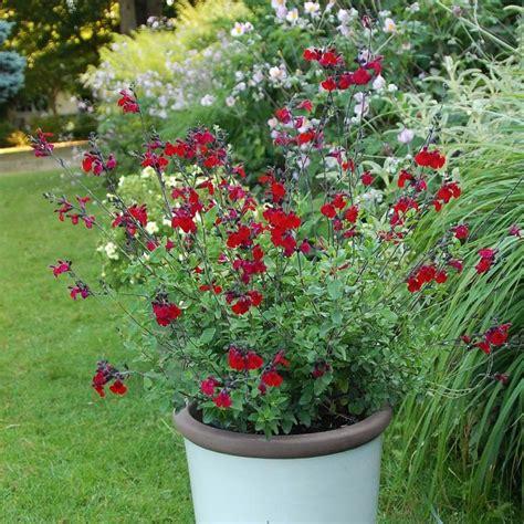 1000 id 233 es 224 propos de sauge arbustive sur sauge fleur roses des jardins anglais