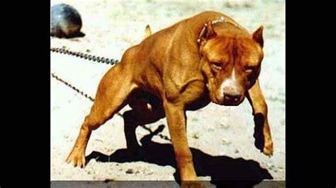 Pelea De Perros Pitbull Mascota O Asesino