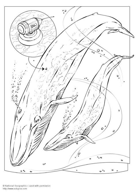 coloring page blue whale img