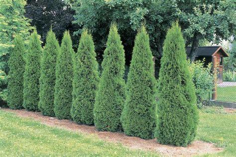 Small Kitchen Reno Ideas - how to grow 39 emerald green 39 arborvitae trees