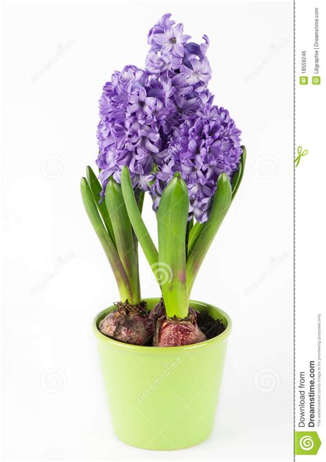 hyacinth flower in pot royalty free stock image