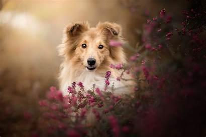 Sheepdog Shetland Muzzle Dog Wallpapers Animal Heathers