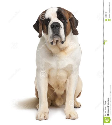 do smooth coat st bernards shed front view of bernard sitting royalty free stock