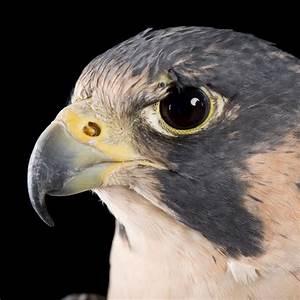 Peregrine Falcon   National Geographic  Falcon
