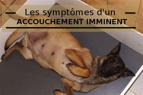 accouchement en si鑒e les symptômes d 39 une mise bas chez la chienne gestante