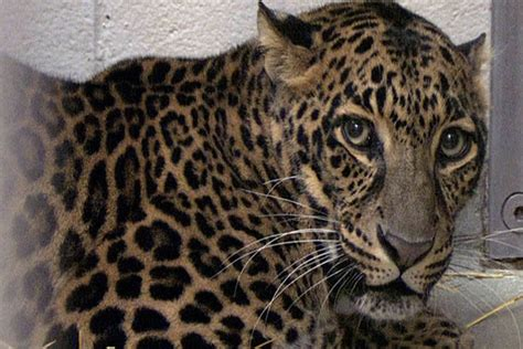Exotic animals ban: Will ban be revived after Zaneville ...