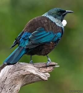Tui -- native bird of New Zealand . . . . | Birds ...