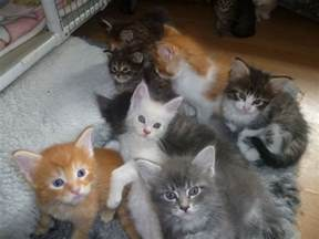 maine coon cats for stunning pedigree maine coon kittens for