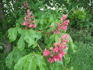 Red Horse Chestnut | A Suffolk Lane