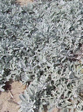 artemisia stelleriana morris strain dusty miller