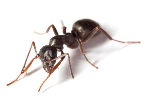 was sind ameisen neudorff ameisen