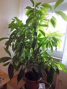 Avocado Baum Pflege : avocado pflanze kaufen wundersch ners avocadobaum in esslingen am neckar pflanzen kaufen und ~ Orissabook.com Haus und Dekorationen