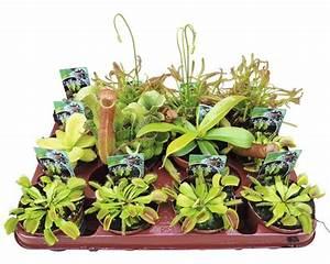 Fleischfressende Pflanzen Kaufen : fleischfressende pflanzen floraself 8 40 cm sortiert ~ Michelbontemps.com Haus und Dekorationen