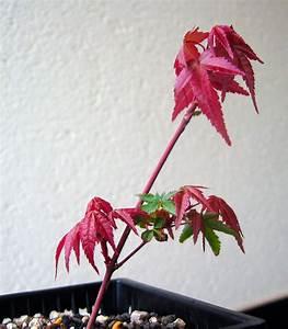 Ahorn Vermehren Steckling : jap f cherahorn wie vermehren ~ Lizthompson.info Haus und Dekorationen