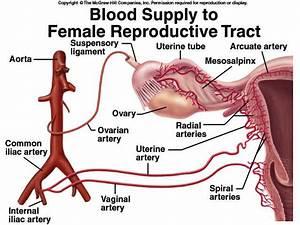 Ovarian Artery - Stepwards